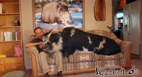 schwein auf der couch bild. Black Bedroom Furniture Sets. Home Design Ideas
