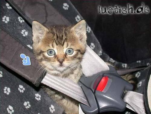 wie ans autofahren gew hnen seite 2 umzug catsitting reisen mit ohne katzen. Black Bedroom Furniture Sets. Home Design Ideas