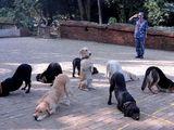 Gedrillte Hunde