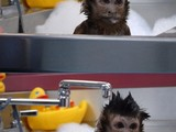 Affe in der Wanne