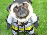 Bat Hund