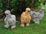 Hühner Federkleid