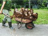 Eine Fuhre Affen