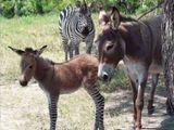 Wenn das Zebra mit dem Esel
