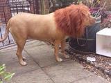 Löwe im Vorgarten