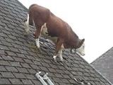 Kuh auf dem Dach