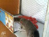 Eichhörnchen stellt sich tot