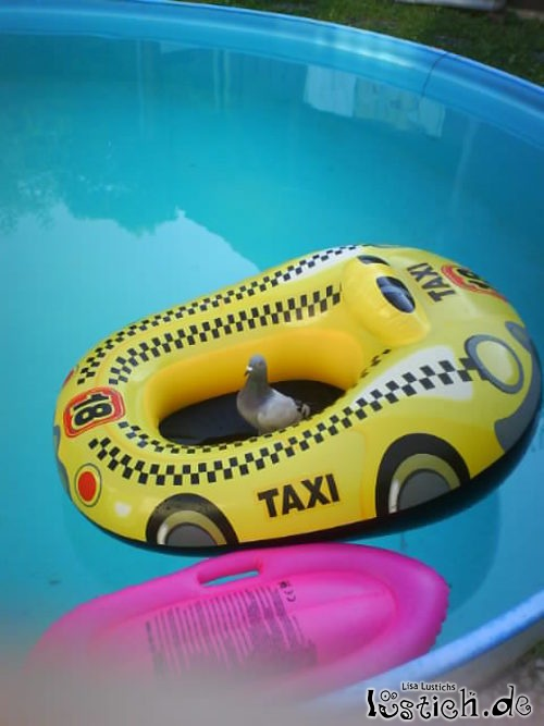 Taube im Taxi