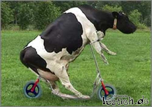 Kuh f hrt roller bild - Photo de vache drole ...