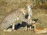 Leoparden und ihr Haustier
