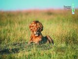 Schwuler Löwe