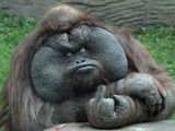 Affe zeigt Stinkefinger