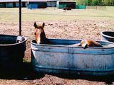 Badendes Pferd