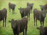 Kühe und noch mehr Kühe!